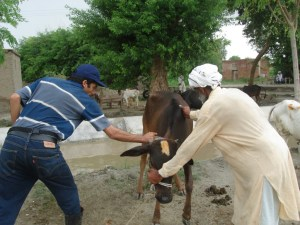 Young buffalo receives vaccination at an animal welfare camp in northern India.