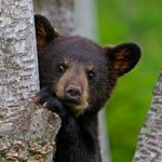 Baiting bears & a governor in Maine and New Jersey
