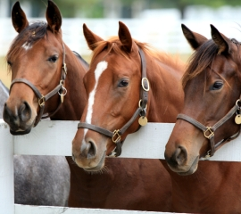 Race horses at the rail.  (HSUS photo)