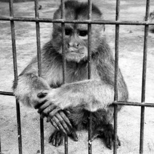 Another monkey used in Harry Harlow's experiments.