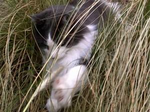 Cat in a cane break pursuing big game. (Beth Clifton photo)