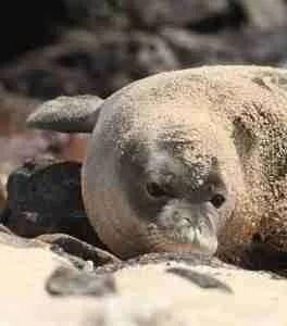 Baby monk seal. (Carroll Cox photo)
