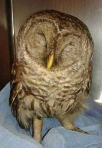 "Sleepy owl asks,  ""Who?  Me?""   (Trish Robbins photo)"
