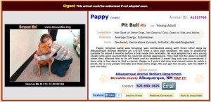 Albuquerque Animal Welfare Department adoption promotion for Pappy, pit bull who killed small dog Lienda.