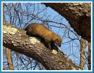 Fisher cat. (Flickr photo)