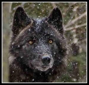 Wolf. (Flickr photo)