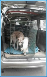 Sterilized and vaccinated street dogs returning to their neighborhood. (ESAF photo.)