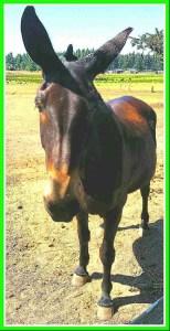 Mule. (Beth Clifton photo)