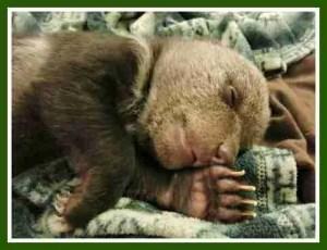Baby griz. (WSU photo)