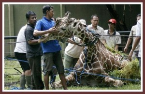 Kliwon the giraffe. (Facebook photo)