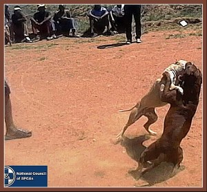 NSPCA dogfighting