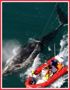 NOAA tagging a northern right whale.