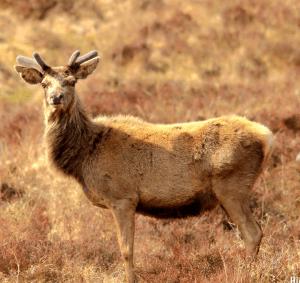 Red deer. (Flickr photo)