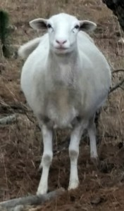 """This pregnant ewe does not see herself as """"red meat,"""" either. (Beth Clifton photo)"""