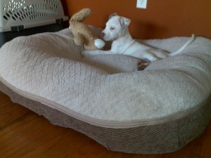 pit bull dog bed