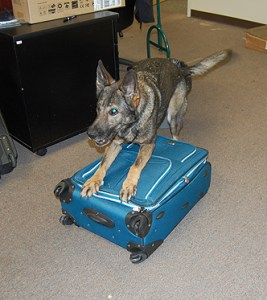 Drug Enforcement Agency dog,  used only to sniff,  enjoys his work.