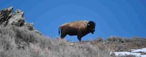 (Stephany Seay/Buffalo Field Campaign photo)