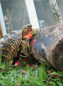 Tortoise at ACRES rescue center. (ACRES photo)