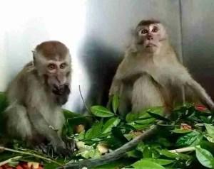 Two macaques. (Louis Ng photo)