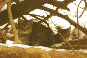 Two-headed demon cat? (Feral Cats of Windsor photo)