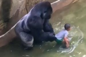 Harambe in this image from the O'Connor video appears to prevent the child from escaping.