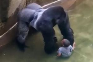 Harambe and the fallen child, from the Kim O'Connor video.