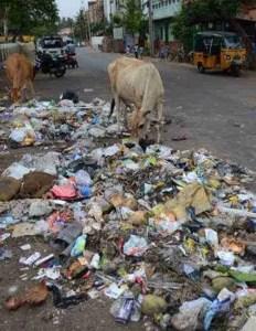 Indian street cow. (Visakha SPCA photo)