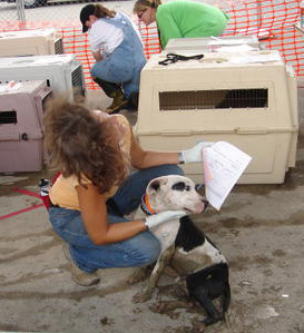 Volunteers prepare a pit bull for evacuation at the Lamar-Dixon rescue center near New Orleans in September 2005. (M.C.)