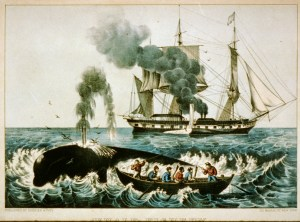 Whales attacking a northern right whale.
