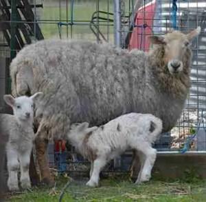 White lamb nurses