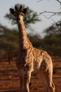 Baby giraffe photographed by unknown visitor to Zimbabwe.