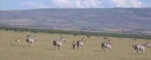 Zebras run free.  (ANAW photo)