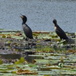 Feds illegally shot cormorants but can keep killing, judge rules