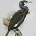 Cormorant,  by Barry Kent MacKay