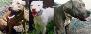 Three of the pit bulls seized from the Dade home. (Miami-Dade Animal Services)