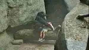 Binti Jua and fallen child at the Brookfield Zoo in 1996.