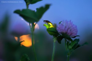 (FireflyExperience photo)