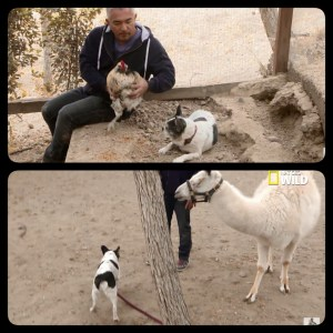 Millan also exposed a chicken and llama to potential injury from Simon.