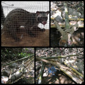 Examples of civet traps. (YouTube and Flickr photos)