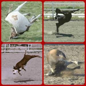 Cheyenne Frontier Days alleged jerk-downs. (SHARK images)