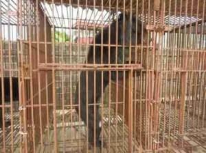 """A skeletal bear at Cau Trang Bear Farm,""  says the Animals Asia Foundation caption."