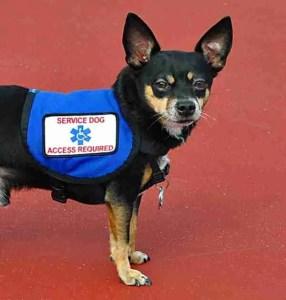 Modeling service dog vest. (PetAdviser.com)