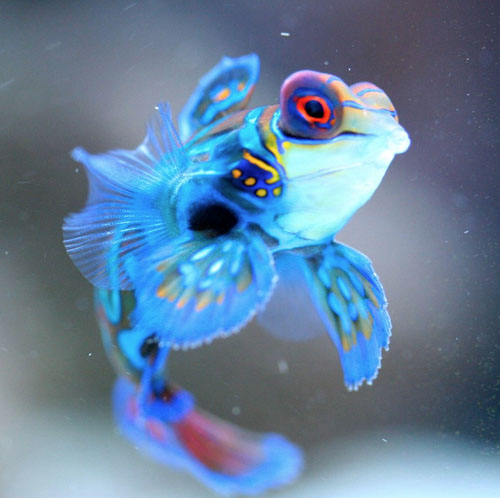 Mandarinfish (Mandarin Dragonet) Facts, Pet Care, Diet, Pictures