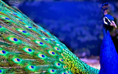 Peacock Wallpapers – Animal Spot