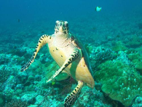 Medium Of Sea Turtle Wallpaper