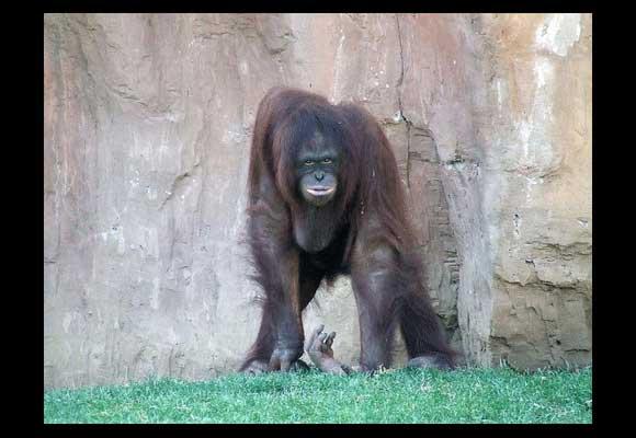 tips on how to photograph orangutan