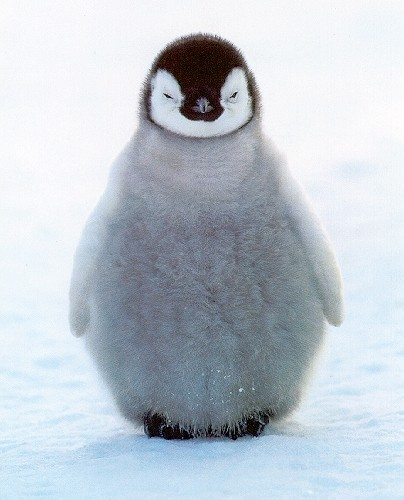 Picture of the Day #1 : Lovely Baby Penguin