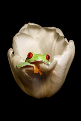 Picture of the Day #10 Frog inside a white Flower