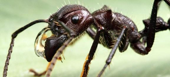 Resultado de imagen para hormiga bala