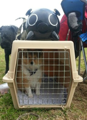 Foto: Anita Axelsson.<br />  Jag vänjer valpen vid att tycka om att vara i bur redan från början och genom att leka burlekar lär vi hunden att tycka att det är roligt att vara i bur.